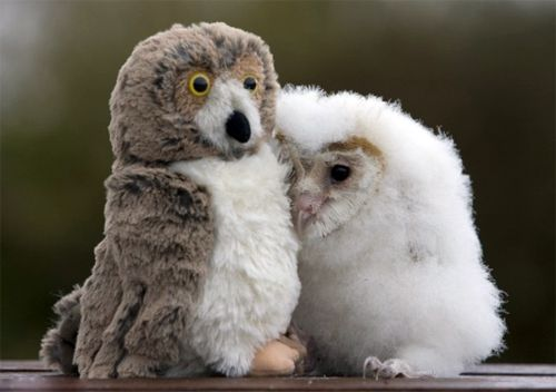 """""""In his five short weeks of life, Orbit hasn't met many other owls. So he isn't at all worried that his new best friend doesn't hoot back. The orphaned chick is perfectly content in the company of the stuffed bird perched next to him and is never far from his side. Orbit, a common barn owl, was given the toy by Lyndsey Wood, his carer at Folly Farm, near Narberth in West Wales. She said: 'A friend suggested that I find something like a toy owl to stop Orbit feeling lonely. I thought he might try to eat it, but he just cuddles up to it and goes to sleep."""": Thoughts, Best Friends, Stuffed Owl, Go To Sleep, Baby Owl, Barns Owl, Toys, Birds, Animal"""