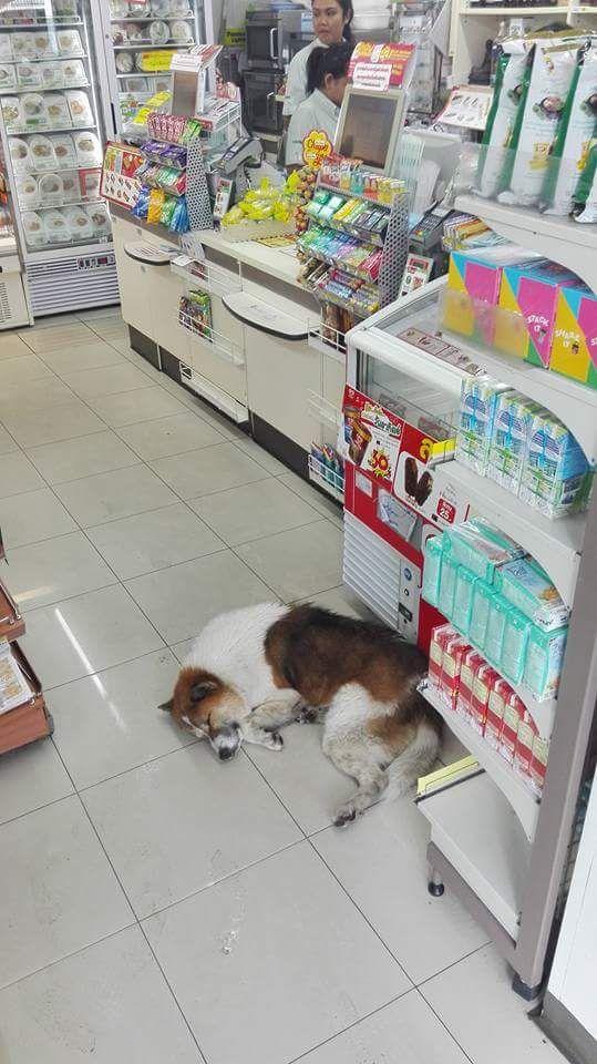 Sometimes you will find a dog or cat inside a 7 Eleven store also. http://www.islandinfokohsamui.com/