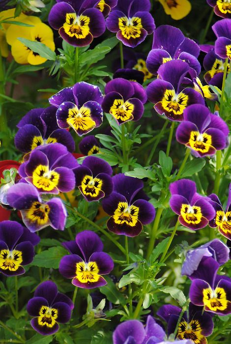 Love Pansies...happy yellow faces!