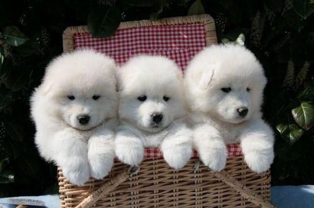 Cutest-Samoyed-Puppies4.jpg (640×425)