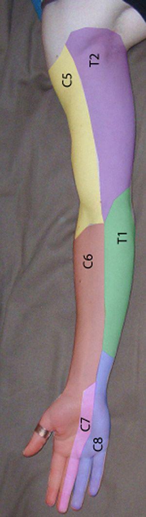 Métamères radiculaires du membre supérieur