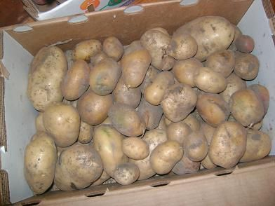 storing potatoes out of the garden