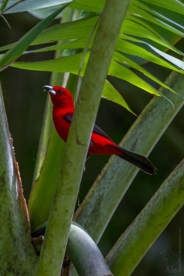 Tiê sangue (ramphocelus bresilius) Brazilian Tanager. #save #wild #animals #animais #nature #natureza