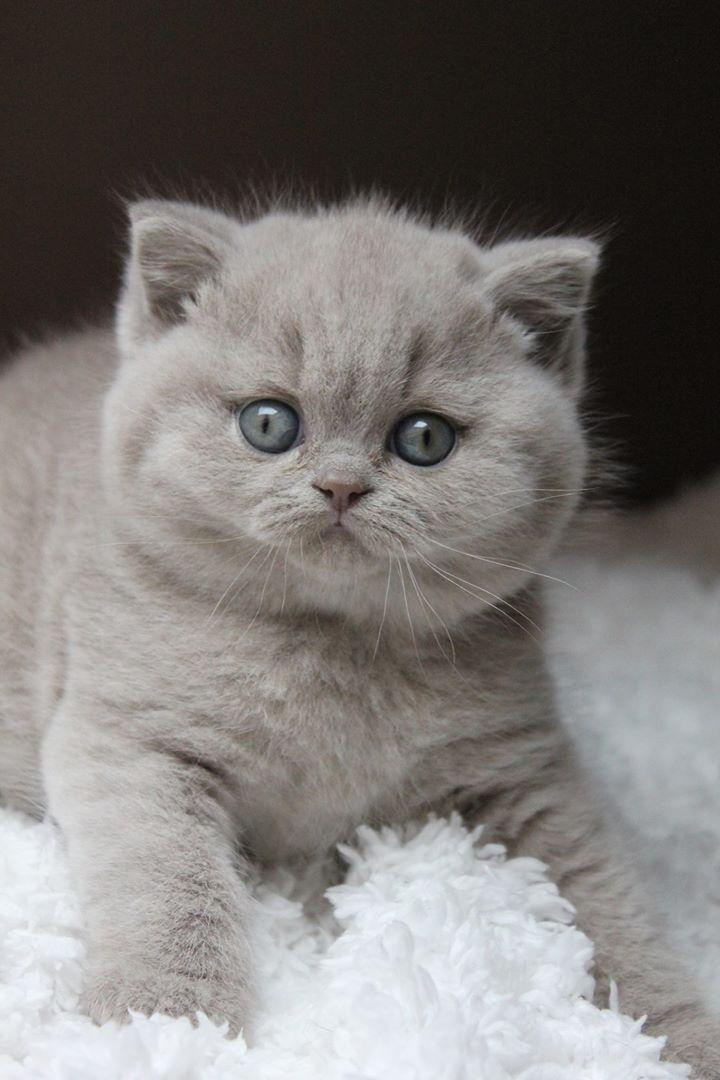 Cute Cat British Shorthair Blue Cute Cats Cats Beautiful Cats