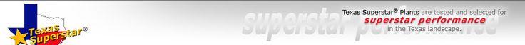 TexasSuperstar plant list Perennial Plants Texas Gold Columbine Flare Hibiscus Lord Baltimore Hibiscus Moy Grande Hibiscus New GoldTM Lantana Trailing Lantana Malvaviscus, Turks Cap Princess Caroline Napier Grass Dwarf Mexican Petunia John Fanick Phlox Victoria Phlox Plumbago Mexican Bush Sage 'Henry Duelberg' Salvia 'Mystic Spires Blue' Salvia Blue Princess Verbena
