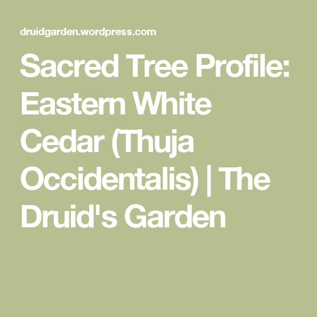 Sacred Tree Profile: Eastern White Cedar (Thuja Occidentalis) | The Druid's Garden