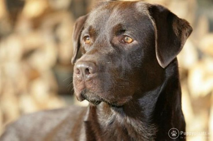 Beautyfull Chocolate labrador ♥