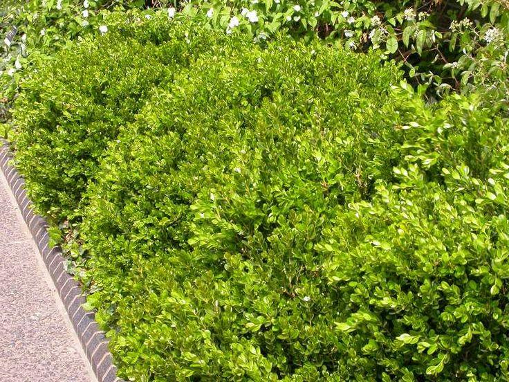 42 best garden conifers images on pinterest garden. Black Bedroom Furniture Sets. Home Design Ideas
