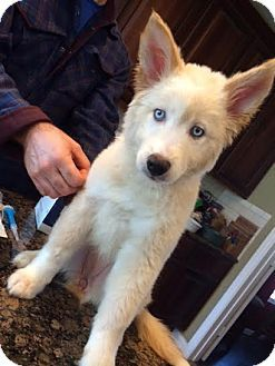03/05/16 SL~~~Pictures of Icy a Husky/Australian Shepherd Mix for adoption in Boston, MA who needs a loving home.