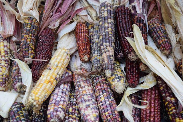 Guia do Sobrevivente: Sobrevivencialismo e Preparação para emergências: Horta urbana: como plantar milho em pequenos espaç...