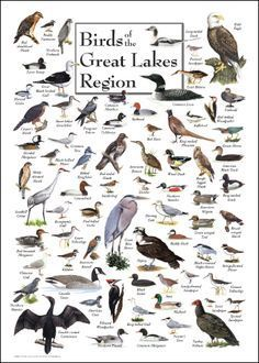 Chart of Birds of the Great Lakes