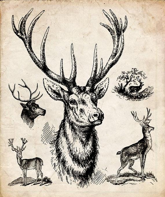 Vintage deer illustration