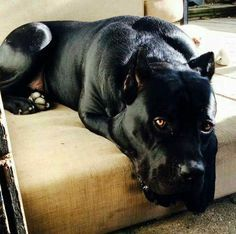 Black pitbull? Looks like a Cane Corso? Beautiful Animal ❤