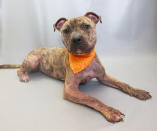 Petango.com – Meet Atlas, a 11 months 12 days Terrier, American Pit Bull / Mix available for adoption in LANCASTER, OH