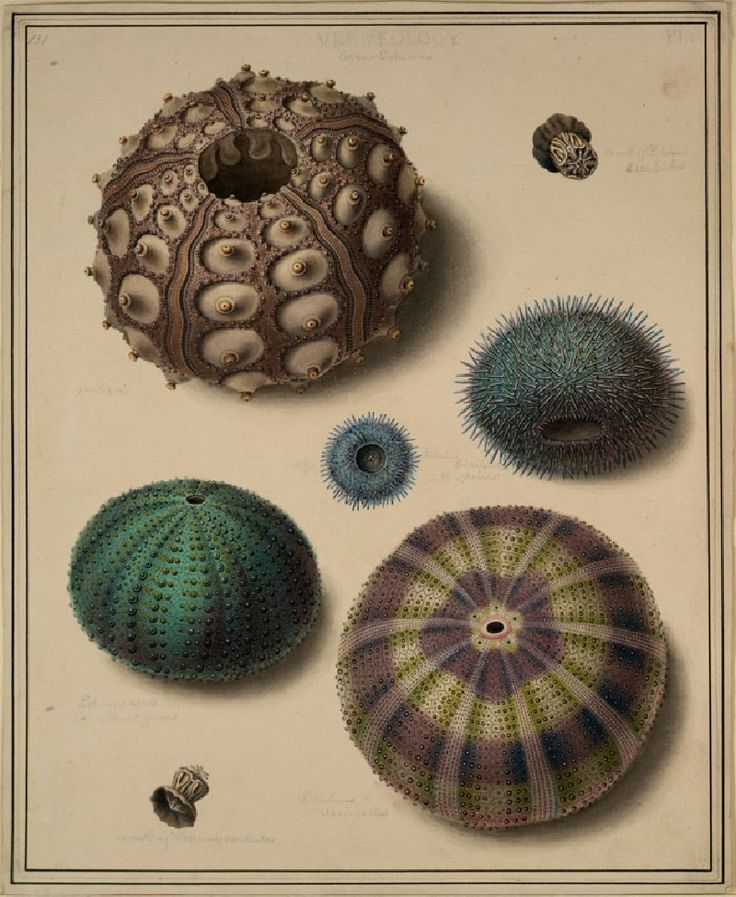 Sea Urchins Edward Donovan, before 1837 Artist/maker - Edward Donovan (1768 - 1837) Object type - drawing Material and technique - watercolour and bodycolour on wove paper Dimensions - 289 x 236 mm