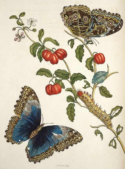 Maria Sibylla Merian  From Transformations of the insects of Surinam  1705