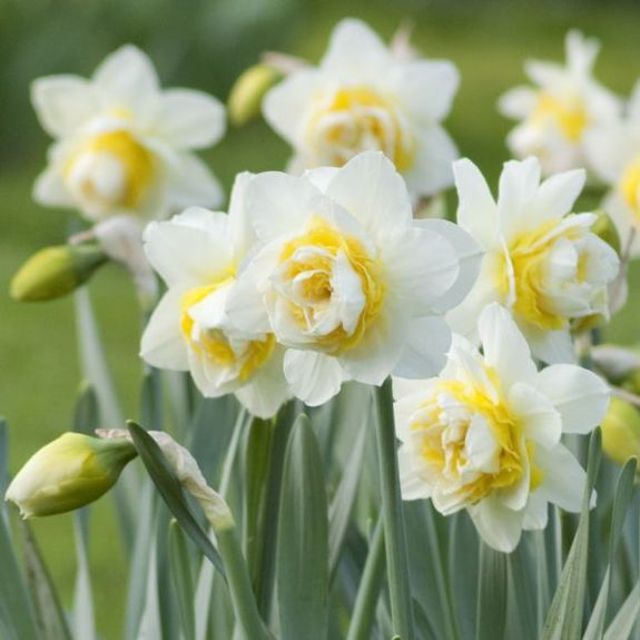 White Petals and Yellow Ruffles Daffodil Narcissus Double White Lion from Longfield Gardens