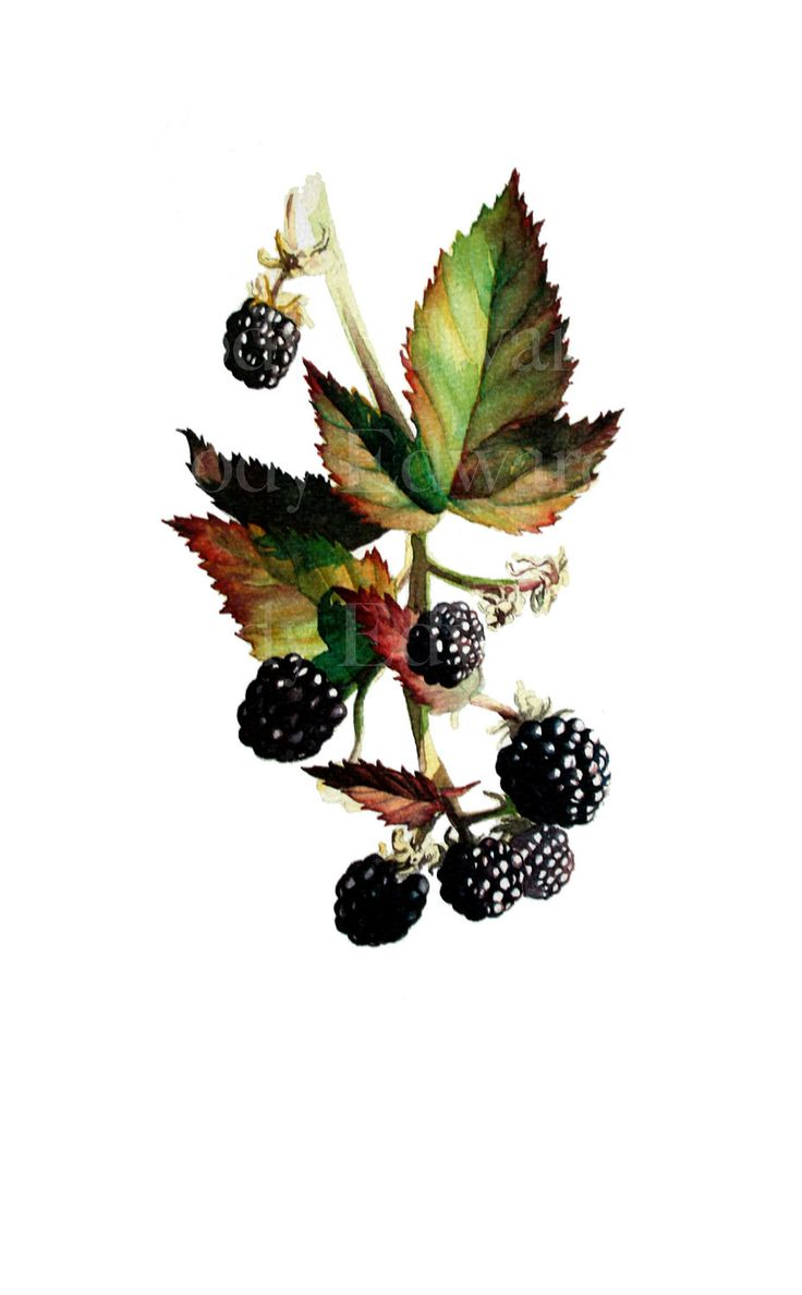 Blackberry Study - Limited Edition Print of 50 Based on the Original Watercolor