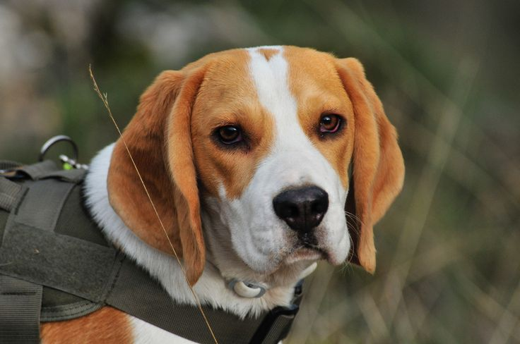 ❤ Beagle ❤  The Beagle is a breed of small hound, similar in appearance to the much larger foxhound. The beagle is a scent hound, developed primarily for hunting hare. ✔ Hypoallergenic: No ✔ Life span: 12 – 15 years ✔ Temperament: Even Tempered, Intelligent, Determined, Amiable, Gentle, Excitable ✔ Height: Male: 36–41 cm, ✔ Female: 33–38 cm ✔ Colors: Lemon & White, Tri-color, Red & White, White & Tan, Orange & White, Brown & White, Chocolate Tri ✔ Weight: Male: 10–11 kg, ✔ Female: 9–10 kg