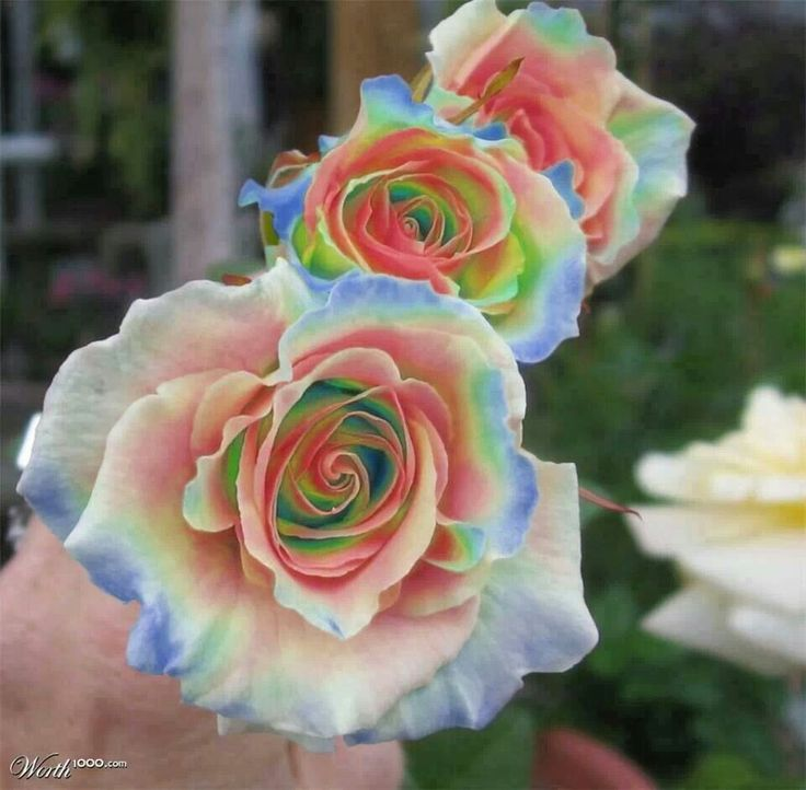 1000 images about flowers on pinterest yellow roses for Multi colored rose bushes
