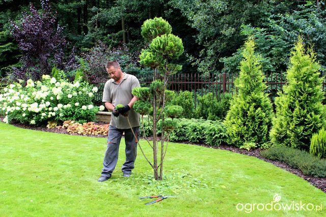 Galeria zdjęć - Jak zrobić bonsai ze starych iglaków - Ogrodowisko