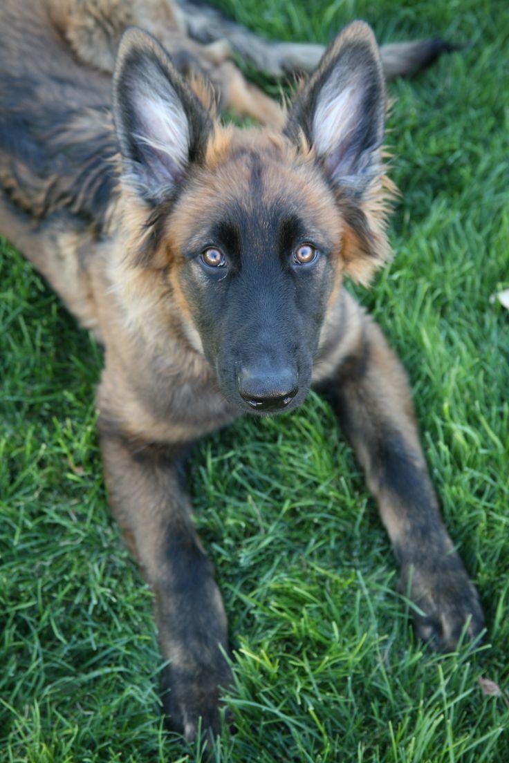 JAG ... GSD German Shepherd Dog German Shepherd Puppy Black Sable #GSD #GermanShepherdDog #BlackSable