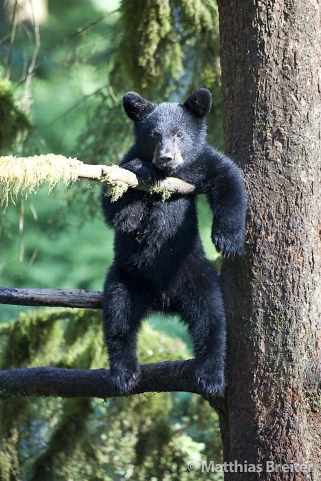 Black bear cub just hang around ...........click here to find out more http://googydog.com