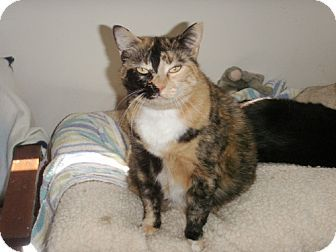 Midway City, CA - Calico. Meet Misty, a cat for adoption. http://www.adoptapet.com/pet/12028727-midway-city-california-cat