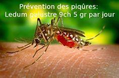 Ils arrivent. Ils sont déjà là et en vrais bataillons. Comment se défendre en homéopathie. #moustiques #homeopathie #piqure
