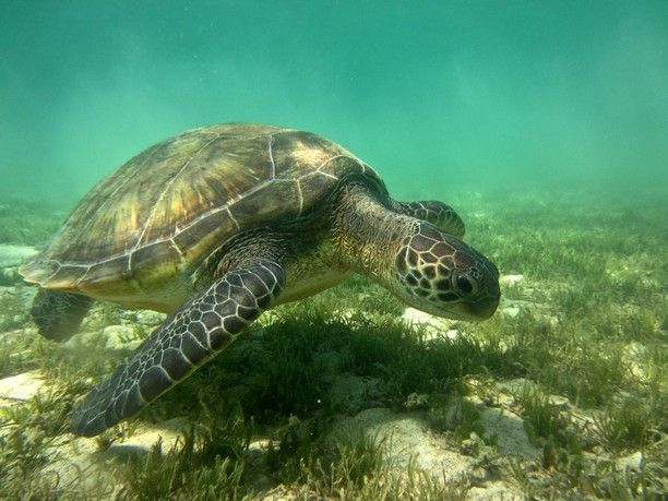 Swim with turtles at Lord Howe Island, NSW, Australia