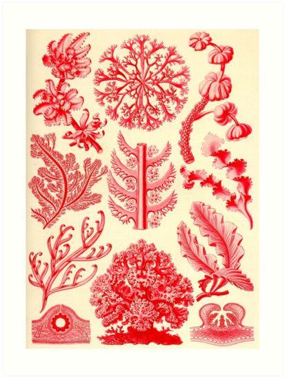 Florideae - Ernst Haeckel  by billythekidtees