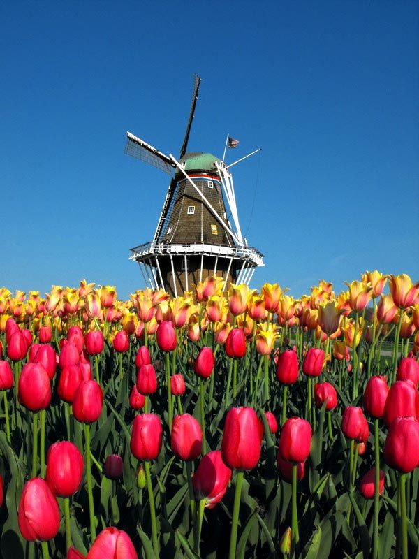 DeZwaan Windmill in Holland, Michigan  Tulips, SinterKlaas, cheese, no you are not in The Netherlands... you are in Holland Michigan!