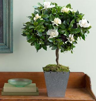 gardenia topiary - oh how i wish I could grow gardenias indoors, but I'm afraid they need a greenhouse to thrive in our area
