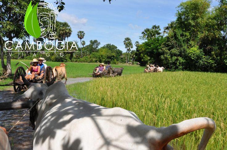 A bordo di un carro trainato dai buoi nel verde delle risaie del Trek Village nella provincia di Siem Reap. Un'avventura divertente da vivere con Cambogia Viaggi  #cambogiaviaggi #siemreap #oxcart
