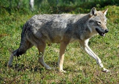 Eurasian Wolf; Top 7 Deadliest Animals in The World