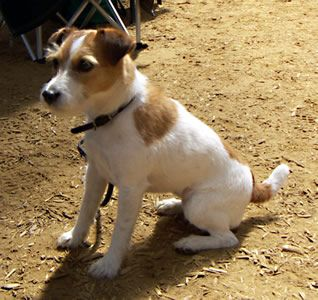 Parson Jack Russell Terrier. Feisty with lots of energy! Jump , Jump, Jump!!
