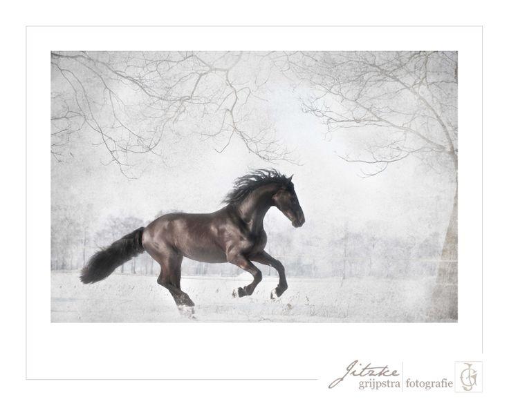 Friesian stallion in the snow, captured by Jitzke Grijpstra Fotografie.  Friese hengst in de sneeuw