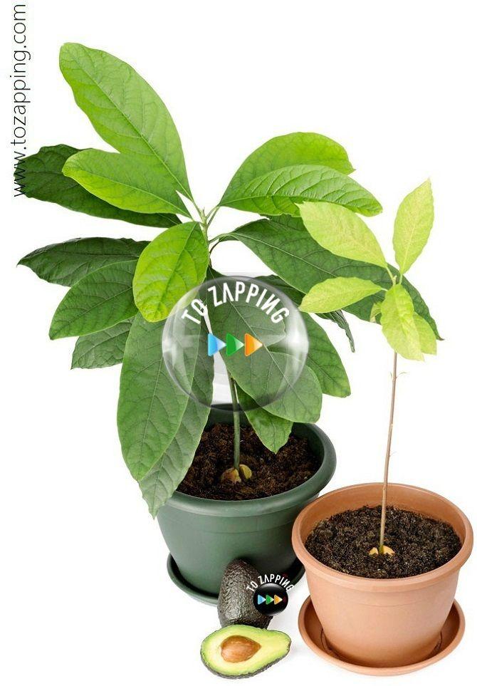más de 25 bellas ideas sobre planta de aguacate en pinterest