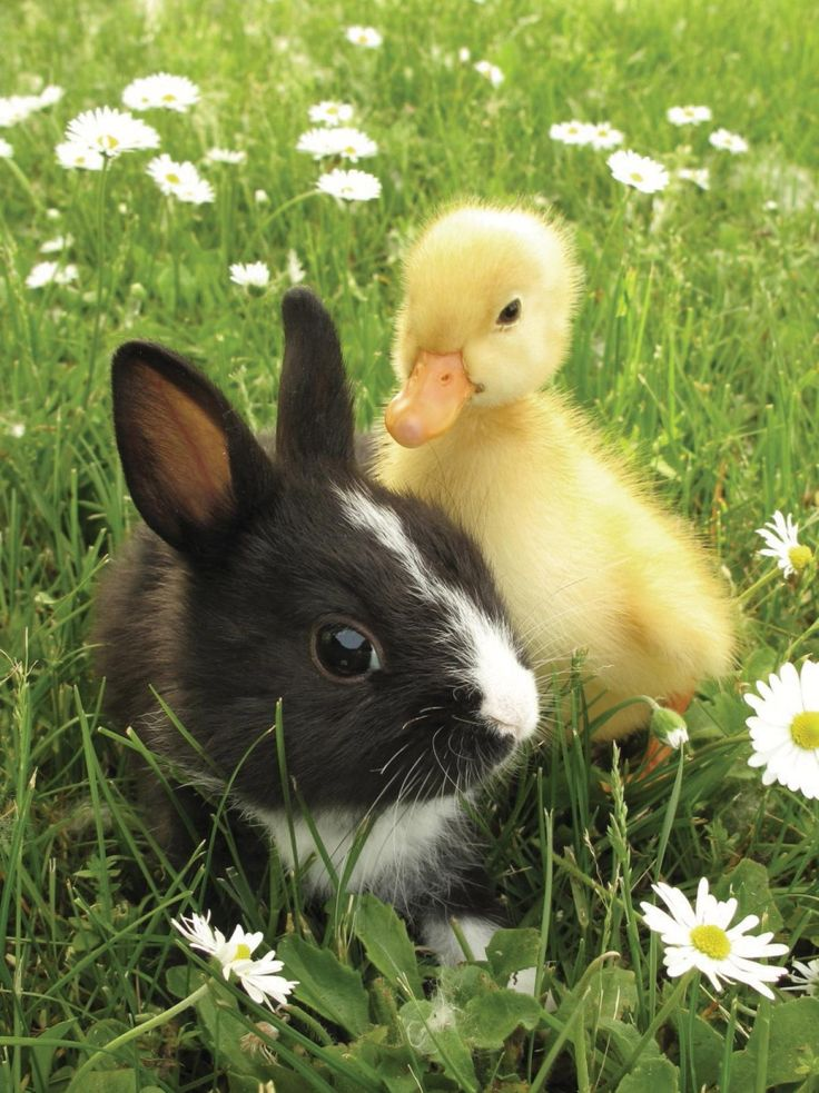 "Bunny and duckling - interspecies friendship.   Opposites attract and these animal odd couples prove it! Nat Geo Wild's ""Unlikely Animal Friends"" has returned for its fourth season on Feb. 27, 2015 and they're more aww-inducing than ever before! Despite the odds, this teeny tiny bunny rabbit made friends with this adorable little duckling. (hva)"