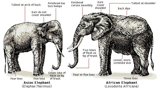 Types of Elephants | ... of elephant are the Asian and African elephants, but just what are the