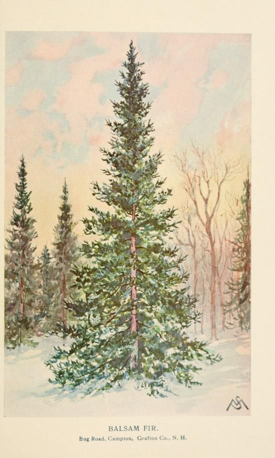 Balsam Fir: Familiar trees and their leaves, F. Schuyler Mathews - 1908