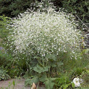Best Crambe cordifolia often known as Colewort is a hardy clump forming perennial which makes a