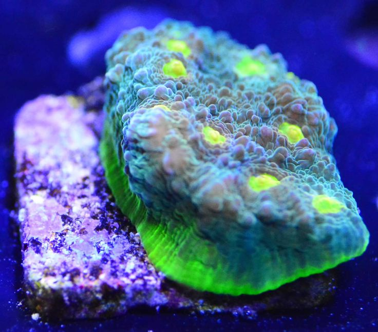 Exotic Chalice Coral Package (Yellow Rim, Volcano, Blue Measels),