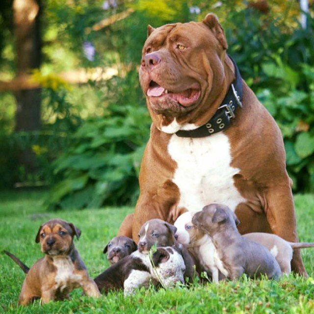 1318 Best American Bully 101 Images On Pinterest