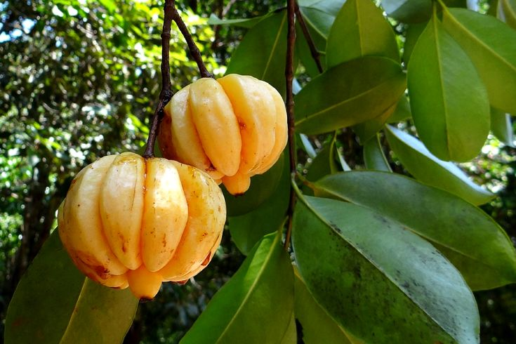 NUTRITIONAL VALUES, BENEFITS AND USES OF GARCINIA GUMMI-GUTTA. This post sheds light on the nutritional values, benefits and uses of Garcinia gummi-gutta that could be of interest to you. .   #GarciniaGummi-gutta.