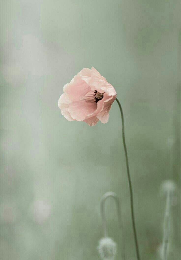 Ein Wenig Natur Gefallig So Pur Und Gleichzeitig So Perfekt Ist Diese Blume D Blume Diese Ein Gefalli Rosafarbene Bluten Mohnblume Fotografie Blumen