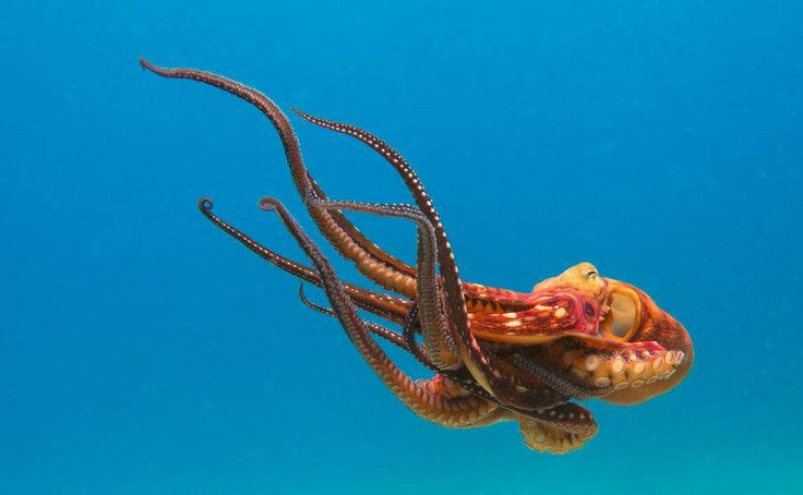 You'll never look at sushi the same way again after learning about ingenious octopuses.