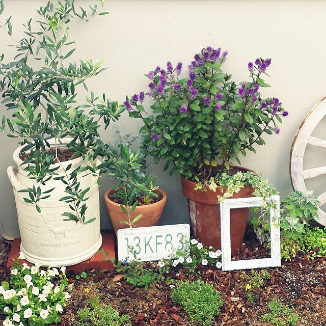 女性で、のオリーブ/ナンバープレート/フレーム/新入りさん/ガーデン/ガーデニング…などについてのインテリア実例を紹介。「親戚に紫の花の咲いてる鉢を貰いました♪なんて言う花なのかな~?ナンバープレートとフレームを飾ってみたけど これってテイストが違っておかしいのかも。。」(この写真は 2014-06-09 08:27:42 に共有されました)