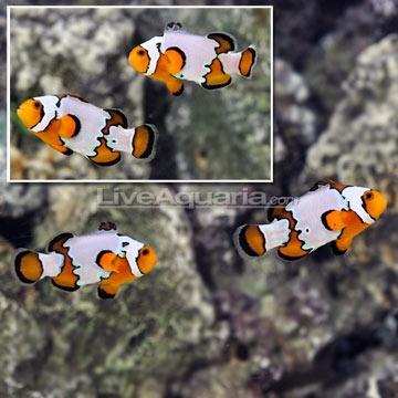 ORA® Premium Snowflake Ocellaris Clownfish (Pair)