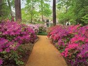 Azaleas is everywhere in Houston, this time of year.